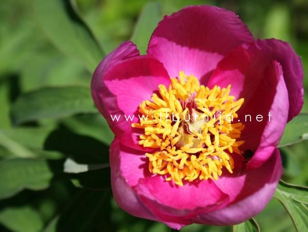 Liburnija.net: Božur @ Park prirode Učka