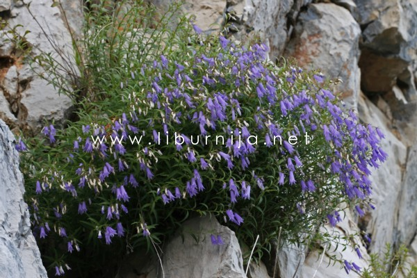Liburnija.net: Učkarski zvončić - Campanula tommasiniana @ Park prirode Učka
