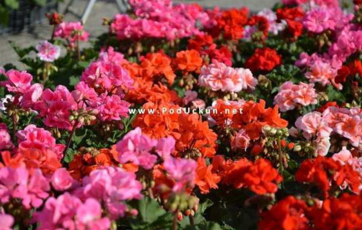 Podjela sadnica u Matuljima, sajam rožica u Lignju
