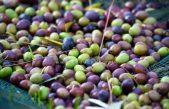 Najbolje maslinovo ulje proizveli Moreno Vižintin i Božidar Badurina