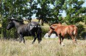 Pomoć kastavskim konjima iz opatijske gimnazije
