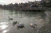 FOTO Predivan prizor u ikarskoj vali – Labudovi mamili poglede mještana i prolaznika