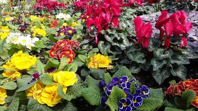 """U sklopu akcije """"Tisuće sadnica za ljepšu Opatiju"""" iznajmljivačima će se ove subote dijeliti besplatne sadnice cvijeća"""