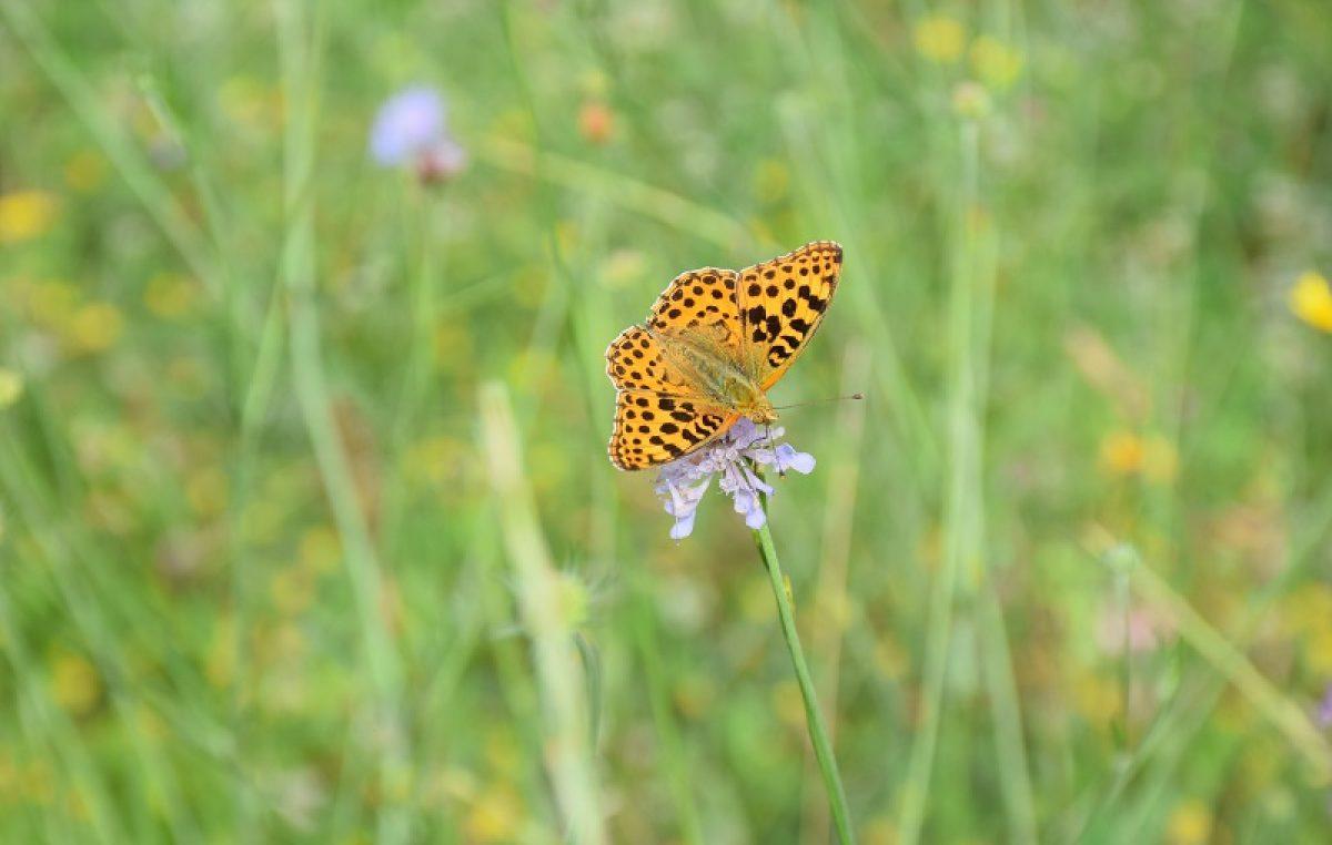 Vratimo livade leptirima! – Volonterski kamp za obnovu travnjaka u Parku prirode Učka