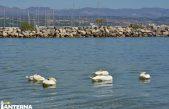 VIDEO Predivan prizor u ispred plaže u Ičićima – Labudovi uljepšali korona svakodnevicu