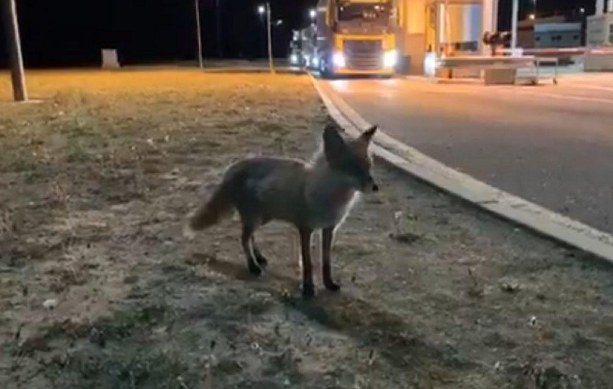 VIDEO Dok nema prometa, graničnim prijelazom vladaju – životinje: Mala lisica postala 'ljubimac' GP Pasjak