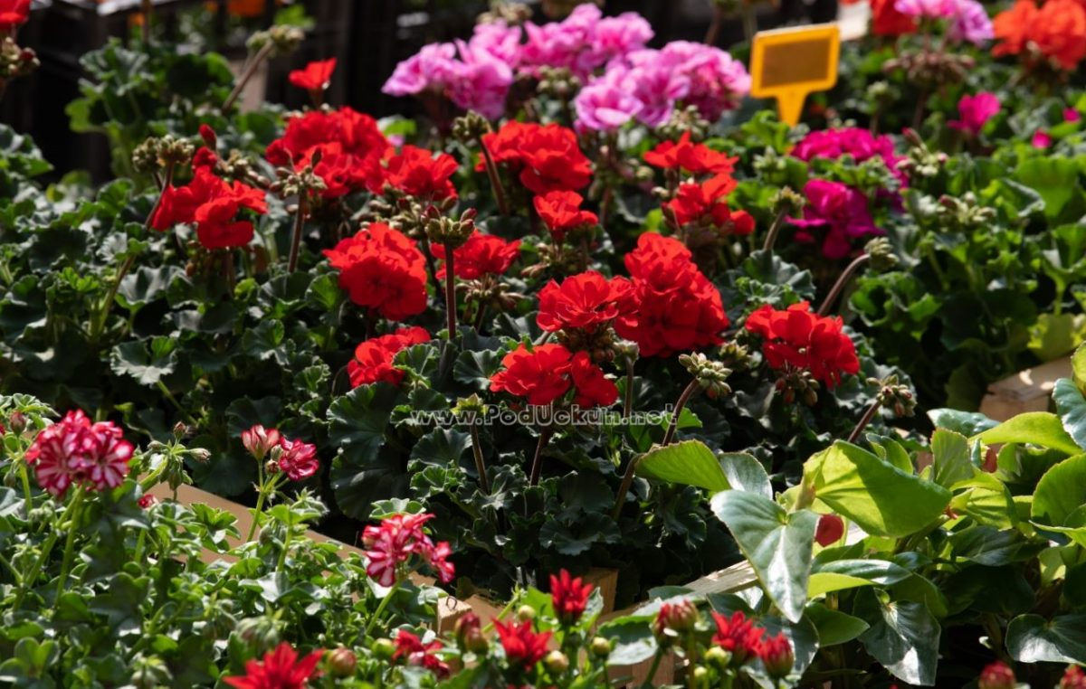 Podjela sadnica cvijeća stanovnicima stare gradske jezgre @ Kastav